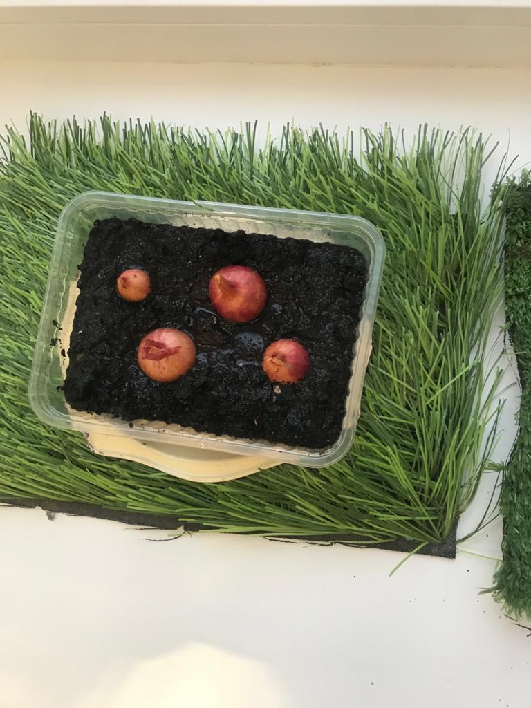 Выращиваем лук на окошке